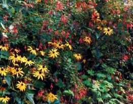 Staudenrabatte mit  Rudbeckia sullivantii (Sonnenhut) und Fuchsia magellanica (Freilandfuchsie)